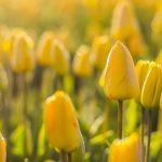 Gelbe Tulpen - Ordination Doktor Peggy Lampel