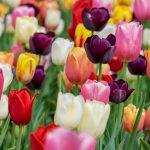 Bunte Tulpen - Ordination Doktor Peggy Lampel Lieblingsblumen